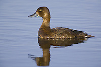 Lesser Scaup hen swimming on a lake