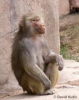 0719-1109  Female Hamadryas Baboon, Papio hamadryas  © David Kuhn/Dwight Kuhn Photography.