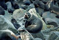 Northern fur seal, Pribilof Islands, Alaska