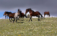 The herd is large, around 160 horses, but they all live in small bands of around 5 or 6. There are also bachelor stallions which may group together or just hang out in the general vicinity of other bands. The bachelors are hoping for an opportunity and they often test the band stallion.  Keeping a band together requires the band stallion to assert authority every so often as Duke is doing here. The young bachelor Missoula casually looks on.