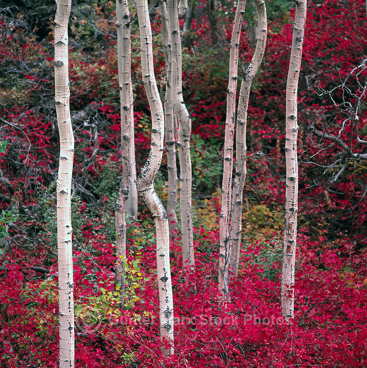 Trembling Aspen (Populus tremuloides) Trees in Northwestern British Columbia, Canada, in Autumn / Fall