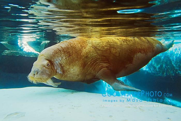 Picture of walrus, Odbenus rosmarus, northern Pacific and Atlantic Ocean (c)