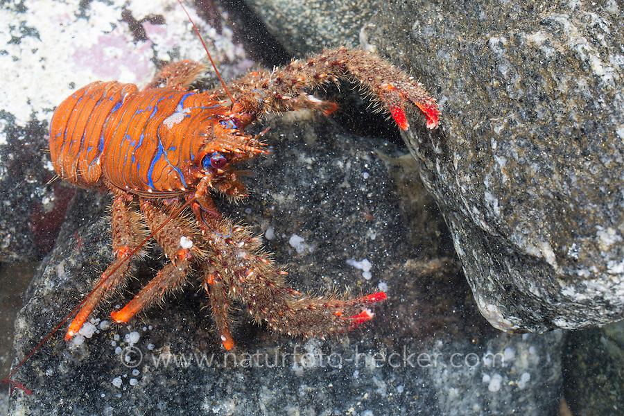 Bunter Furchenkrebs, Gestreifter Furchenkrebs, Blaustreifen-Springkrebs, Blaugestreifter Springkrebs, Bunter Springkrebs, Galathea strigosa, Galathaea strigosa, Strigose squat lobster, Spiny Squat Lobster, Spinous Squad Lobster