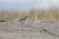 Temminck's Stint (Calidris temminckii) on beach. Chukotka, Russia. June.