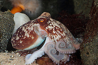 Zirrenkrake, Zirren-Krake, Gehörnter Krake, Kleiner Krake, Kleiner Octopus, Eledone cirrhosa, curled octopus, lesser octopus, horned octopus, La pieuvre blanche, poulpe blanc