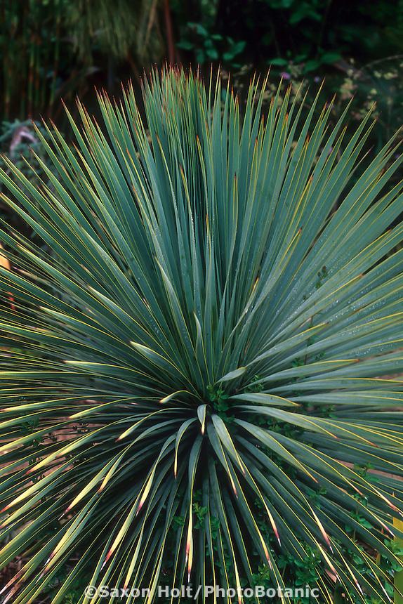 Yucca rostrata (Beaked Yucca) leaf detail