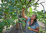 Anacelia Barros da Costa picks fruit from an urban garden she and her neighbors have planted in the Nacoes Indigenas neighborhood in Manaus, Brazil. The neighborhood is home to members of more than a dozen indigenous groups, many of whose members have migrated to the city in recent years from their homes in the Amazon forest.