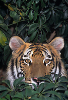 683999273 Bengal Tiger Panthera tigris CAPTIVE.Young Tiger In Brush.Native to Indian Subcontinent.Wildlife Rescue