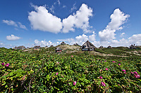Sylt, Germany. Hörnum.Heiderose (heather rose) and Traditional reed roofs.