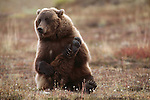 Brown Bear, Ursus arctos, Denali National Park, Alaska, USA