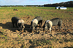 British Saddleback pigs outdoors free range farming, Suffolk, England, UK
