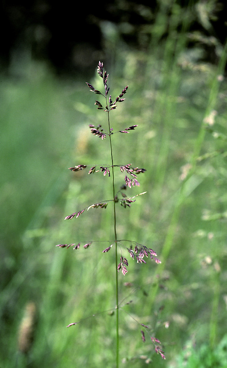 Common Bent Grass (Agrostis capillaris) HEIGHT to 70cm. Creeping perennial that grows in grassland, mainly on acid soils.  FLOWERS  Greenish-brown spikelets borne in heads with spreading, whorled branches (June- Aug). FRUITS Small, dry nutlets. LEAVES Narrow, with blunt ligules.