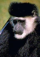 African, wild animal. Close up of an abyssinian Colobus. This primate, with its white face and black fluffy coat seem to be wearing a fur hat. Kenya.