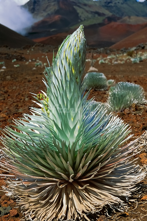 A Silversword expressing its vitality of life in the crater of HALEAKALA NATIONAL PARK on Maui in Hawaii