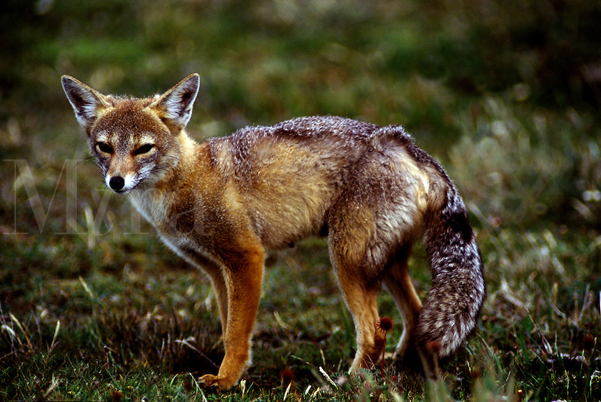 RED FOX (Pseudalopex culpaeus) - TORRES DEL PAINE NATIONAL PARK IN PATAGONIA, CHILE