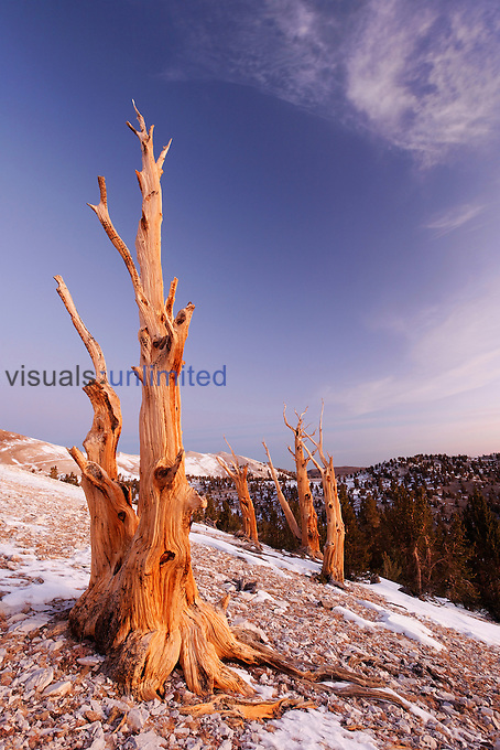 Bristlecone Pines (Pinus longaeva), White Mountains, Inyo National Forest, California, USA