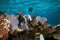 A snorkler off of the Belizean Cayes, Belize, Caribbean, Atlantic MR