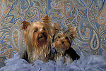 Yorkshire Terrier Shopping cart has 3 Tabs:<br /> <br /> 1) Rights-Managed downloads for Commercial Use<br /> <br /> 2) Print sizes from wallet to 20x30<br /> <br /> 3) Merchandise items like T-shirts and refrigerator magnets