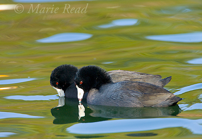 "American Coots(Fulica americana), pair performing ""bowing"" display as part of courtship, California, USA"