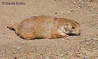 0601-1004  Black-tailed Prairie Dog Laying on Ground, Cynomys ludovicianus  © David Kuhn/Dwight Kuhn Photography