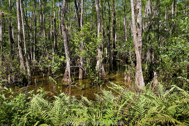 Sweetwater Strand supports cypress trees, epiphytes and Florida wildlife - a delicate ecosystem.