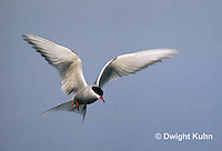 MC59-025z  Arctic Tern - flying above island - Machias Seal Island, Bay of Fundy - Sterna paradisaea