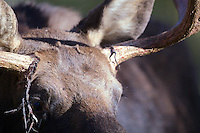 Bull moose detail, this big boy has been rubbing of the velvet and rubbing his antlers on trees to prepare for battle for the girls in Grand Teton National Park