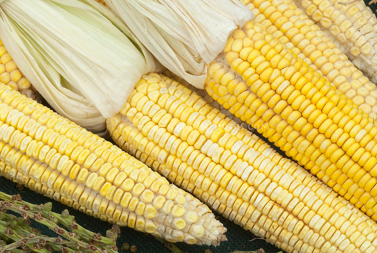 Corn cobs Zea mays yellow, picked, showing several ears of corn