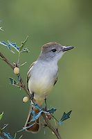Ash-throated Flycatcher, Myiarchus cinerascens, adult on Agarita (Berberis trifoliolata), Uvalde County, Hill Country, Texas, USA