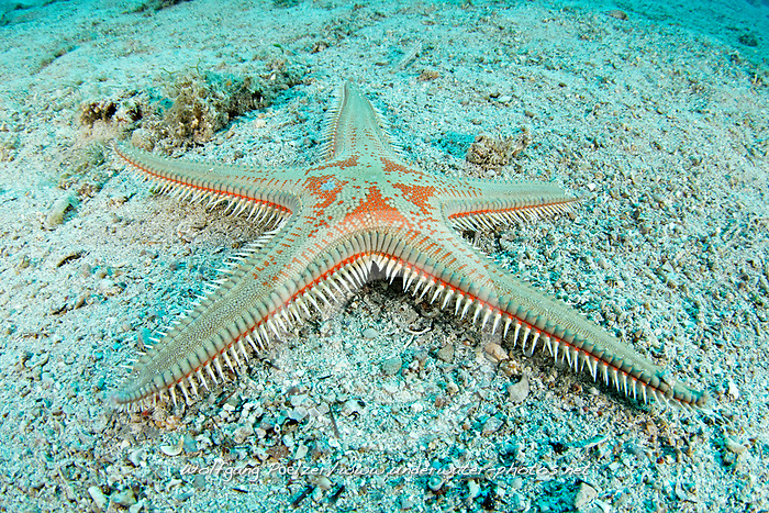 Astropecten aranciacus, Grosser Kammseestern am Meeresboden, Comb star on Sea bed, Adria, Adriatisches Meer, Mittelmeer, Insel Brac, Dalmatien, Kroatien, Adriatic Sea, Mediterranean Sea, Island Brac, Dalmatia, Croatia