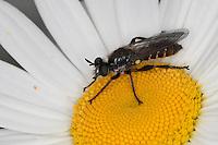 Gemeine Mordfliege, Raubfliege, Männchen  Choerades marginata - Gruppe, Raubfliegen, Asilidae, robberfly, robberflies
