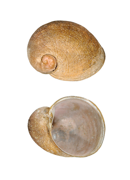 Velvet Shell - Velutina velutina