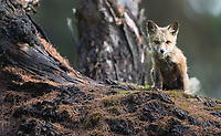 I visited a fox den in western Montana on my way to Yellowstone.