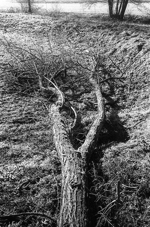 Pieve Emanuele (Milano). Albero caduto o abbattuto --- Pieve Emanuele (Milan). Fallen tree