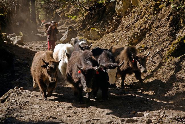 A YAK HERDER on the trail during the AROUND MANASLU TREK - NUPRI REGION, NEPAL