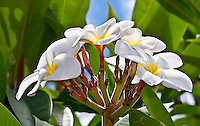 A close-up of plumeria flowers on a sunny day in Hawai'i.