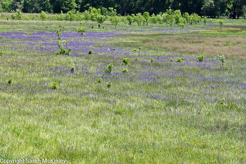 A meadow filled with camas (a type of lily) along Reynold's Highway outside of Willits in Mendocino County in Northernn California.