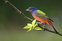 The breeding male Painted Bunting is North America's most colorful bird.