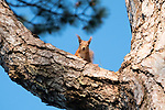 Red Squirrel in Pine tree on the Isle of Wight.
