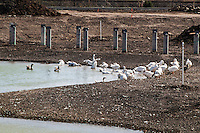 Domestic geese at San Lorenzo Park while it is being renovated.  They were displaced, now they have a place.