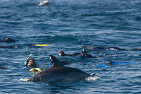 common dolphin, Delphinus capensis, watch divers who are watching a bait ball below the surface, Sardine Run, Wildcoast, Transkei, South Africa, Indian Ocean
