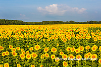 63801-07508 Sunflower field Sam Parr State Park Jasper County, IL