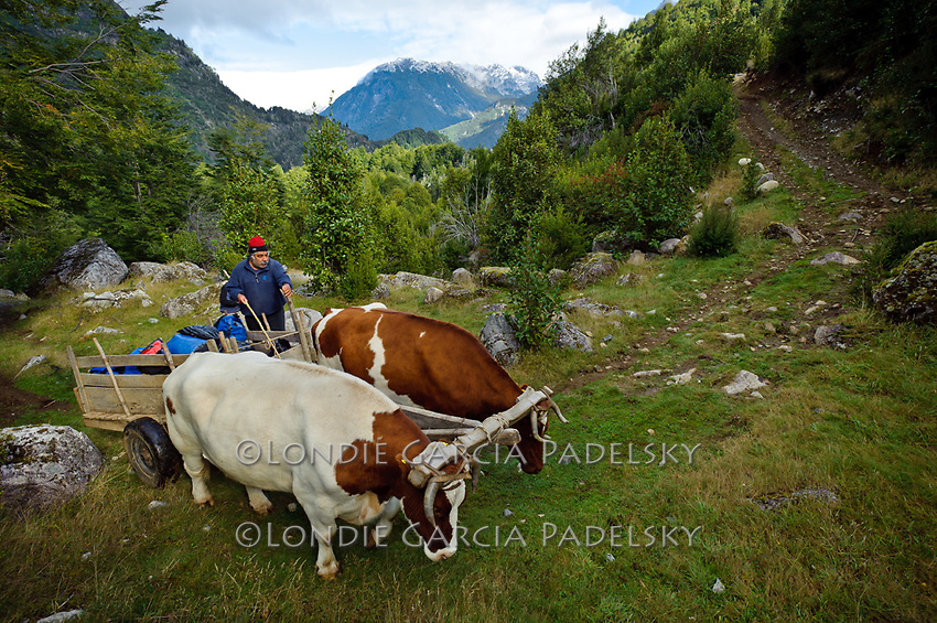 Oxen hauling river gear near Terminator Camp, Futalefu River, Los Lagos Region, Patagonia, Chile, South America