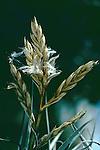 2149-AG Tillandsia lorentziana shedding seed