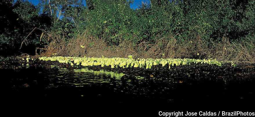 ( EDITORS NOTE: Retransmission with alternate crop ) - Butterflies by the Javae River, Bananal Island, Tocantins State, Amazon, Brazil.
