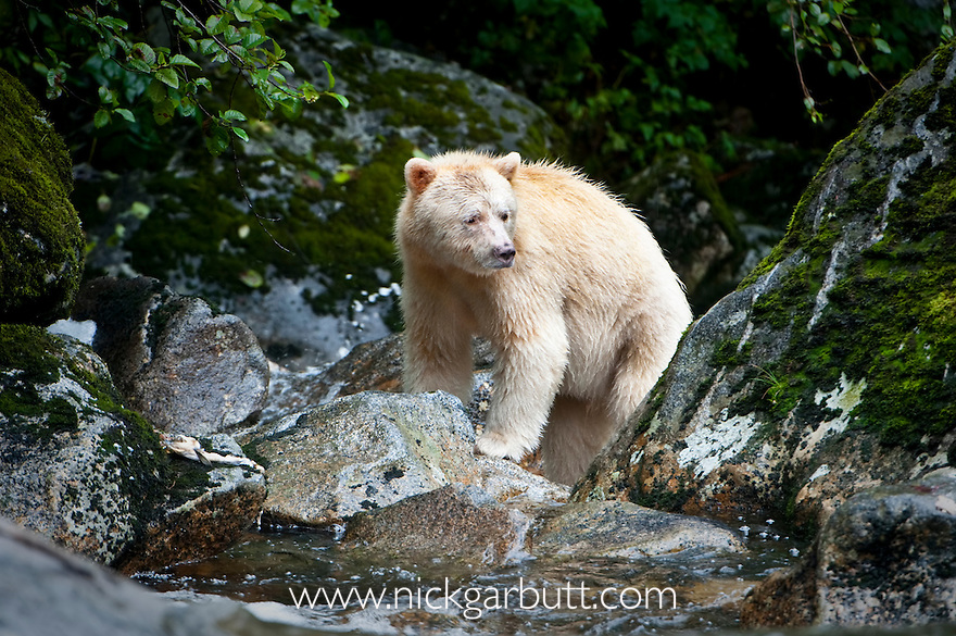 Adult Spirit Bear or Kermode Bear (Ursus americanus kermodei) - white morph of the black bear- in stream fishing for salmon. Gribbell Island, Great Bear Rainforest, British Columbia, Canada
