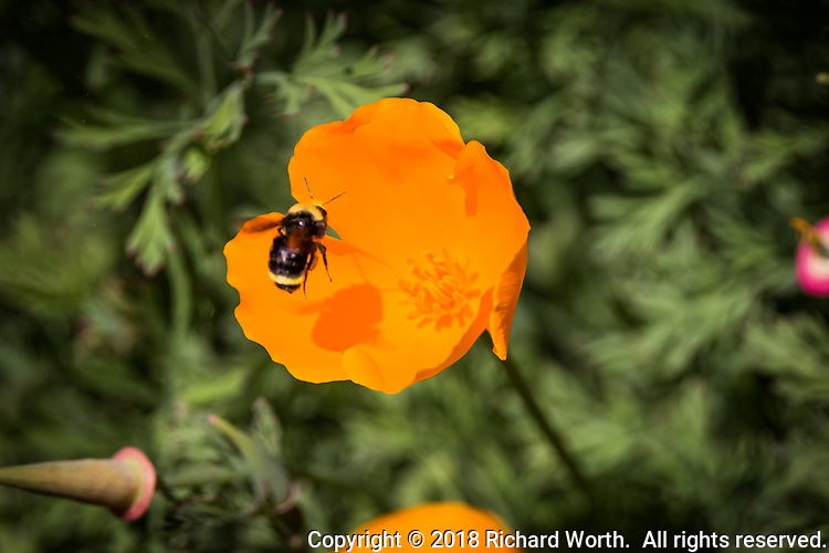 A bee hovers mid-air, casting its shadow on a bright orange California poppy.
