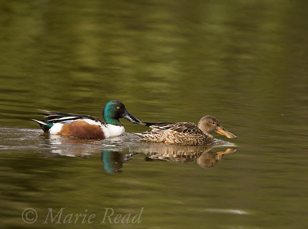 Northern Shoveler (Anas clypeata), pair, male left, female right,  Huntington Beach, California, USA