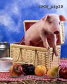 Xavier, ANIMALS, REALISTISCHE TIERE, ANIMALES REALISTICOS, pigs, photos+++++,SPCHPIG19,#a#, EVERYDAY