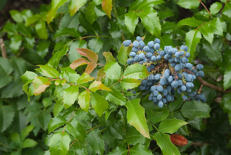 Mahonia aquifolium in blue berries